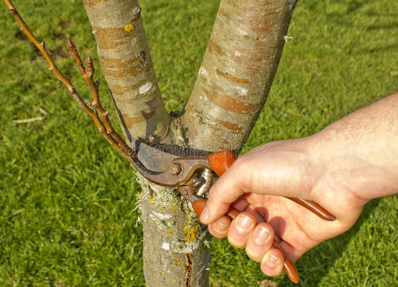 Árbol de la poda del hombre en resorte foto de archivo