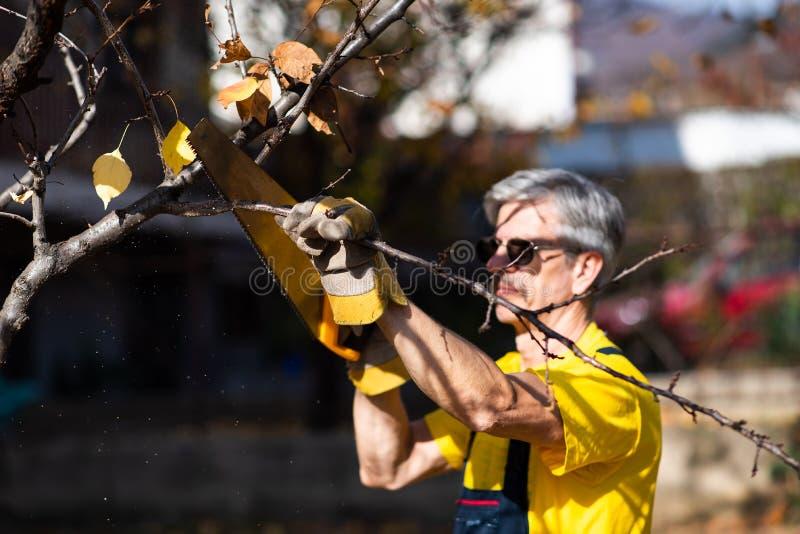 Árbol de la poda del hombre que corta viejas ramas con una sierra fotografía de archivo libre de regalías