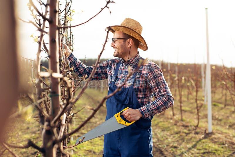 Árbol de la poda en la huerta de la pera, granjero que usa la herramienta del handsaw fotos de archivo libres de regalías