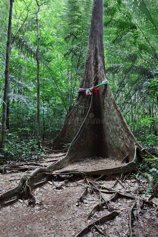 Árbol de la raíz del contrafuerte foto de archivo libre de regalías