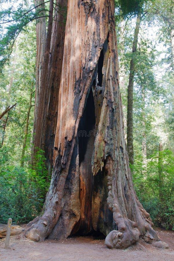Árbol de la secoya fotografía de archivo libre de regalías