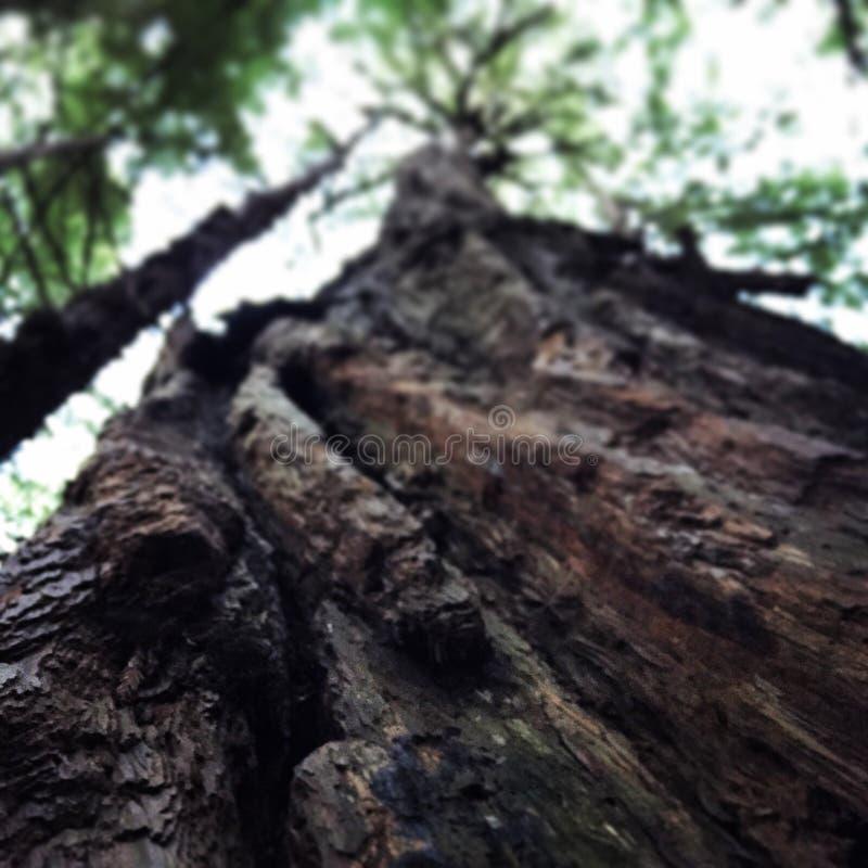Árbol de la secoya foto de archivo libre de regalías