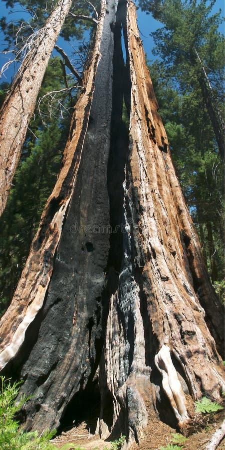 Árbol de la secoya imagen de archivo libre de regalías