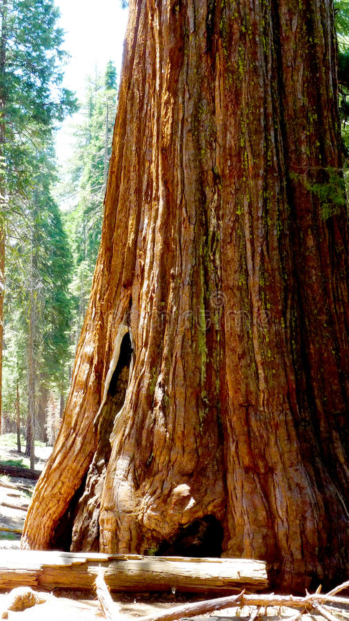 Árbol de la secoya gigante en California foto de archivo