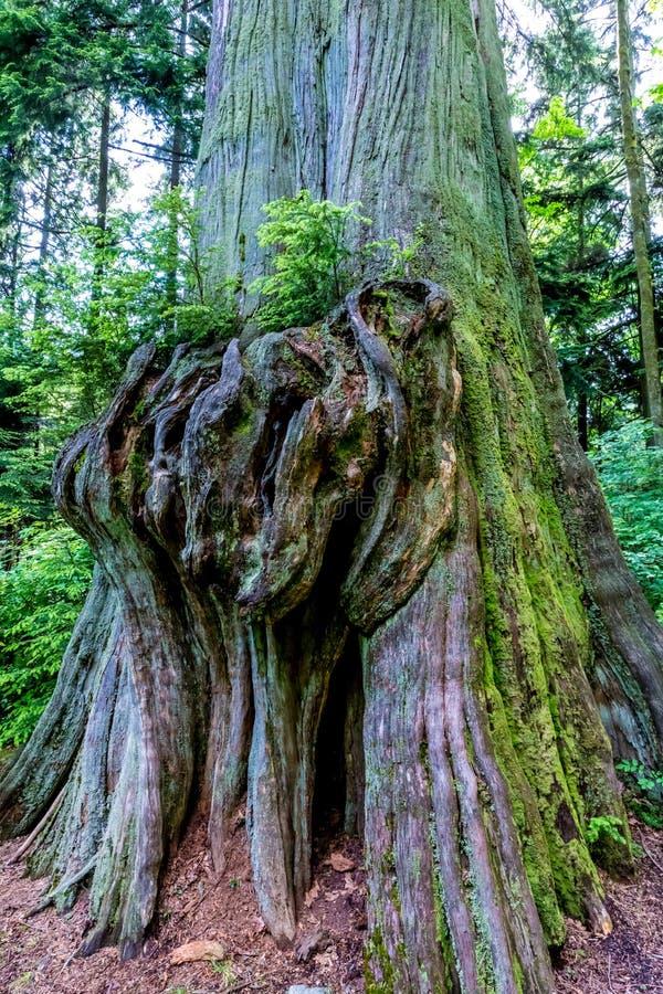 Árbol de la selva tropical con crecimiento nudoso grande interesante fotos de archivo