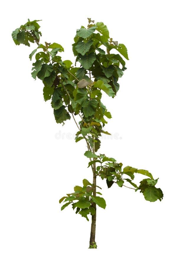 Árbol de la teca en el fondo blanco foto de archivo