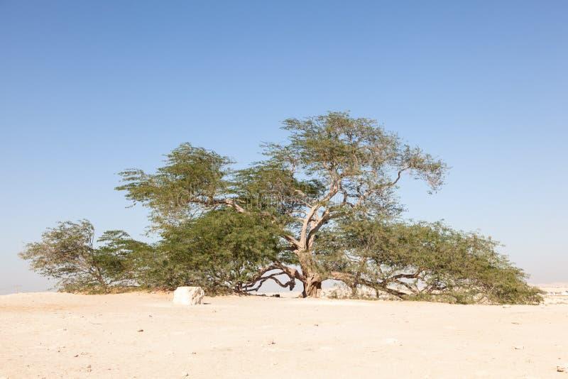 Árbol de la vida, Bahrein foto de archivo libre de regalías