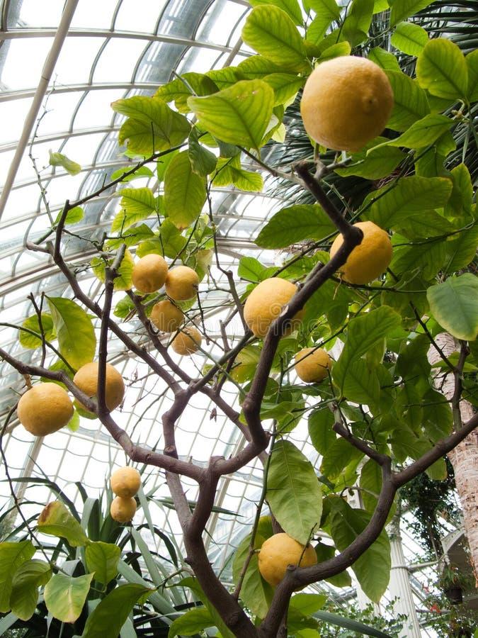 Árbol de limón foto de archivo