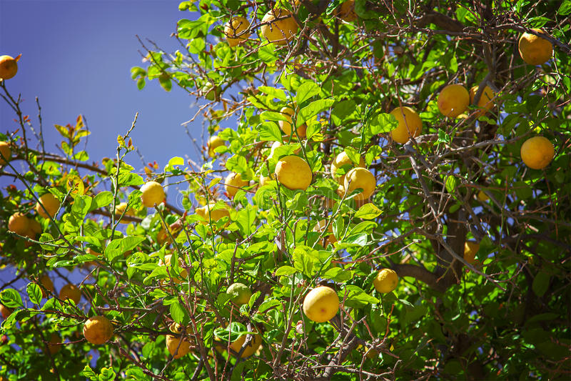 Árbol de limón fotos de archivo libres de regalías