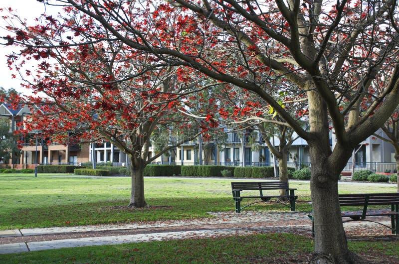Árbol de llama que florece en un parque fotos de archivo libres de regalías