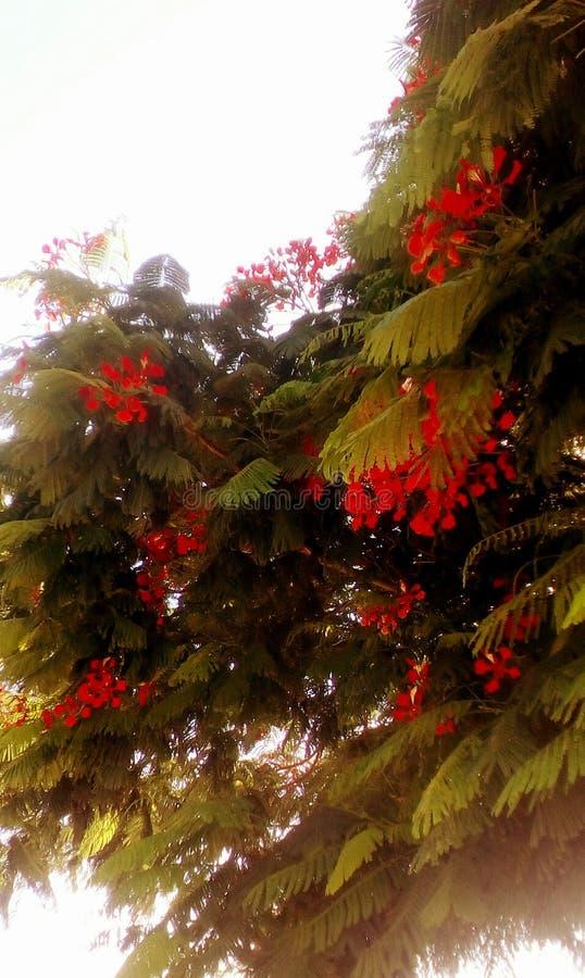 Árbol de llama tropical foto de archivo libre de regalías