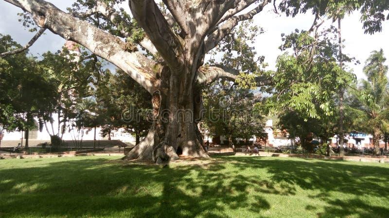 Árbol de lluvia enorme foto de archivo libre de regalías
