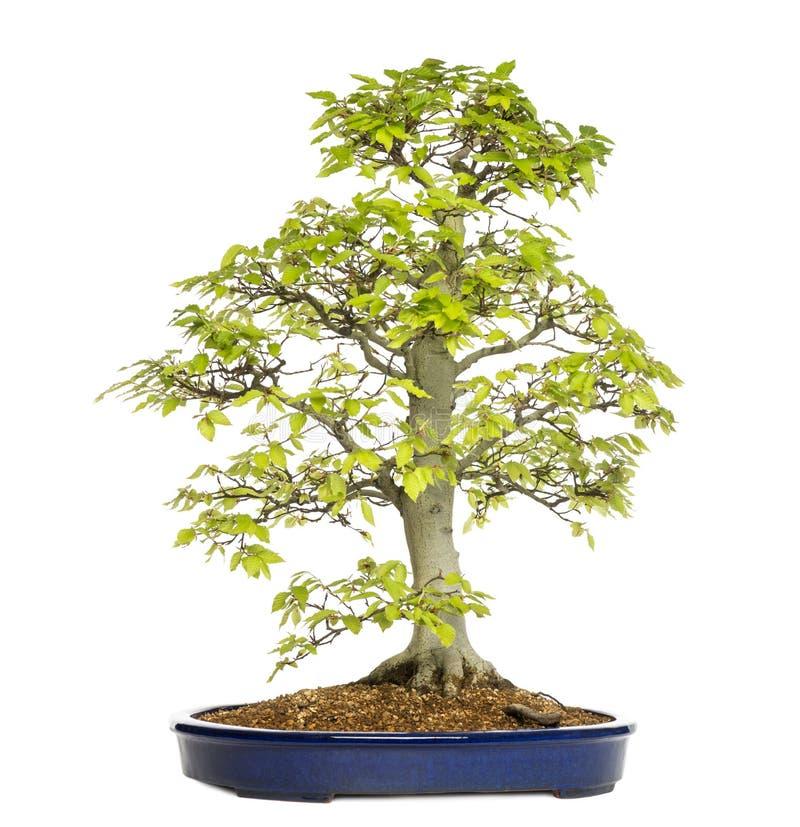 Rbol de los bonsais de la haya sylvatica del fagus - Bonsai de haya ...
