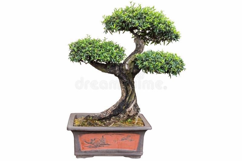 Árbol de los bonsais del europaea del olea fotografía de archivo libre de regalías