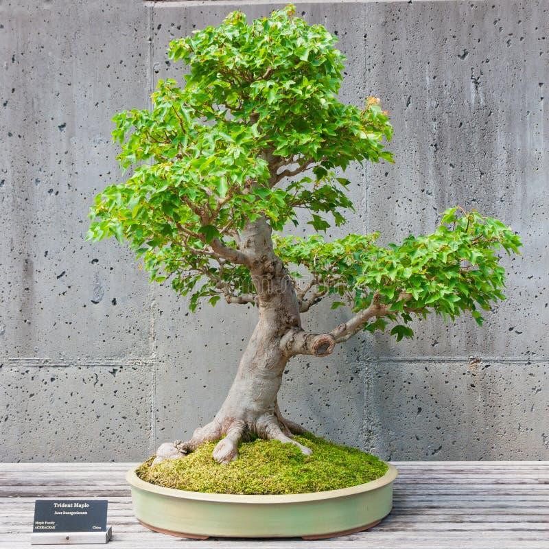 Árbol de los bonsais en la exhibición fotos de archivo