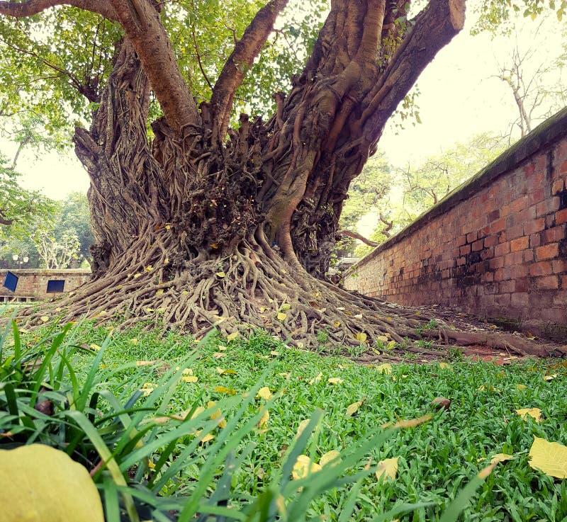 Árbol de los ficus en el templo de la literatura en Hanoi fotos de archivo libres de regalías