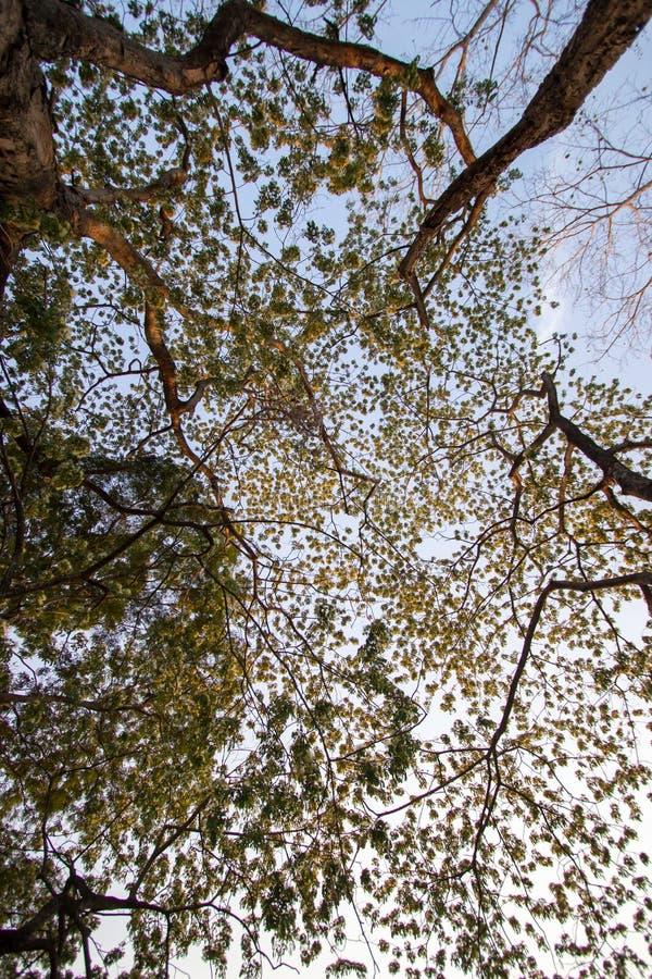 Árbol de los lebbeckSiris del Albizia, lengua del ` s de la mujer, árbol del lebbeck de la mimosa y cielo de la tarde imagenes de archivo