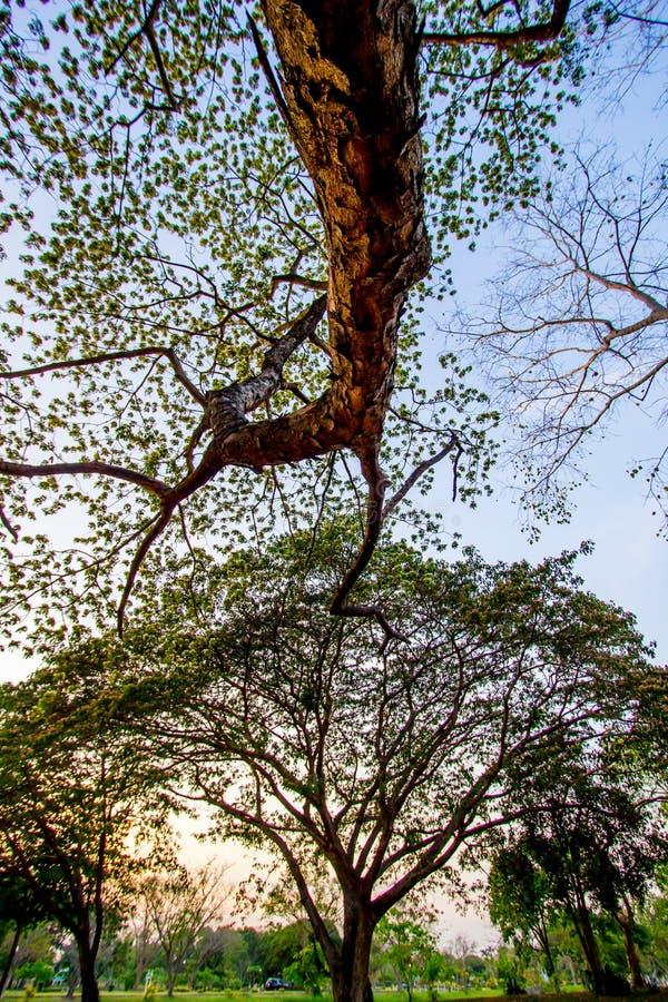 Árbol de los lebbeckSiris del Albizia, lengua del ` s de la mujer, árbol del lebbeck de la mimosa y cielo de la tarde fotografía de archivo libre de regalías