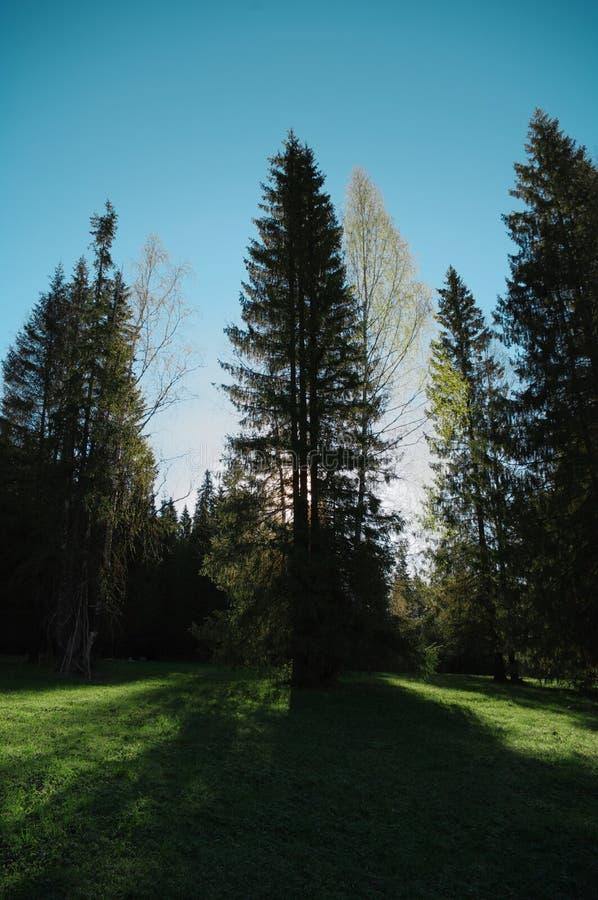 Árbol de madera del claro del bosque de la estación, contraluz foto de archivo