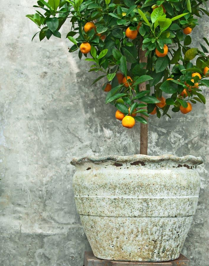 Árbol de mandarina en crisol de arcilla viejo imagen de archivo