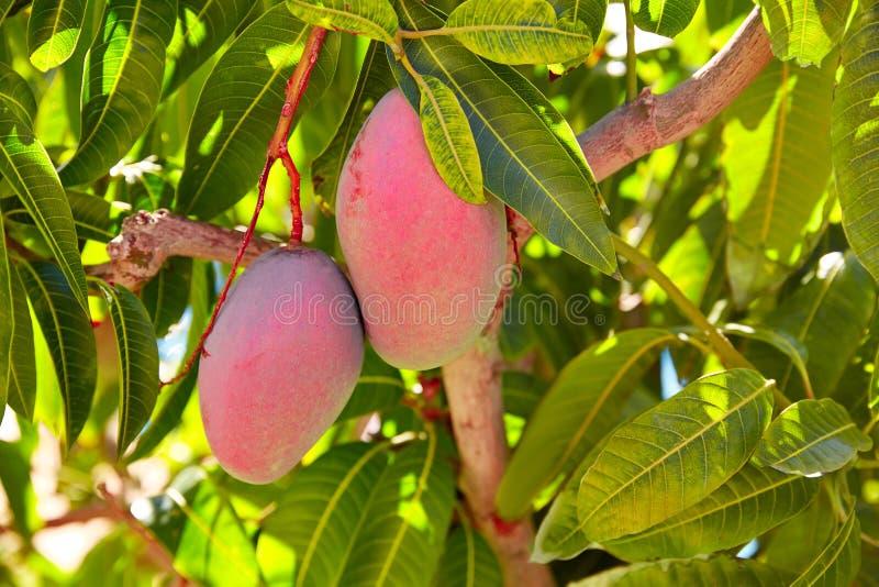 Árbol de mango con las frutas del mango de la ejecución imagen de archivo