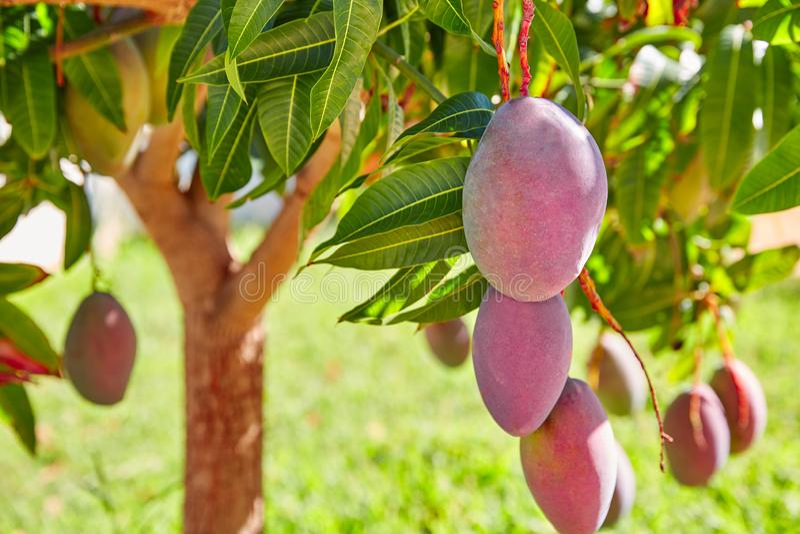 Árbol de mango con las frutas del mango de la ejecución imagen de archivo libre de regalías