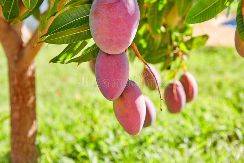 Árbol de mango con las frutas del mango de la ejecución fotos de archivo libres de regalías