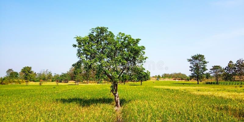 Árbol de mango en el medio de campos del arroz fotos de archivo libres de regalías