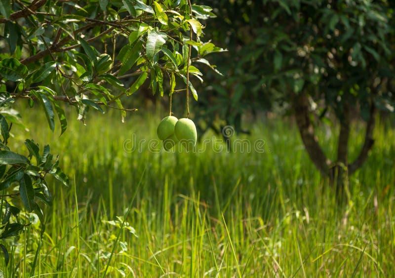 Árbol de mango Jardín en pueblo tailandés fotografía de archivo libre de regalías