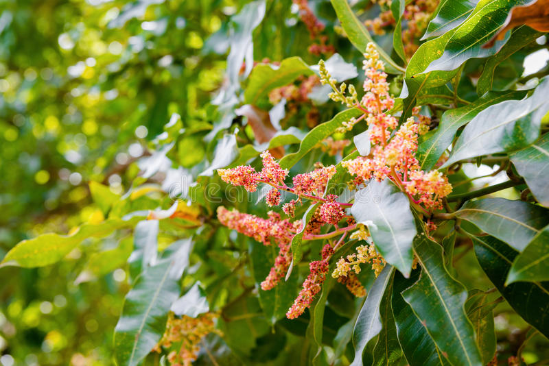 Árbol de mango que florece en cierre de la floración para arriba foto de archivo