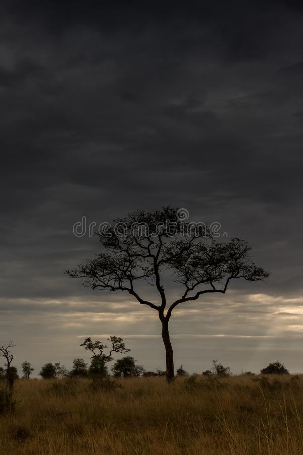 Árbol de Marula en la sabana fotografía de archivo libre de regalías