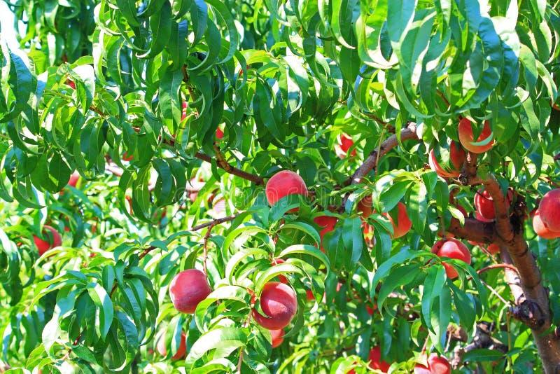 Árbol de melocotón foto de archivo libre de regalías