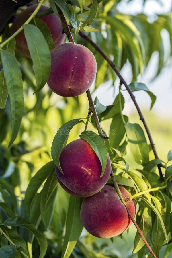 Árbol de melocotón con el crecimiento de frutas en el jardín foto de archivo