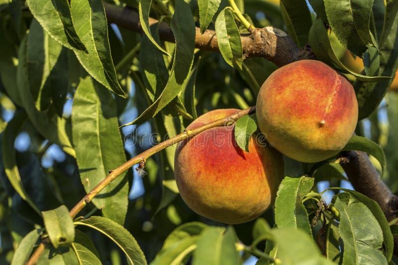 Árbol de melocotón con el crecimiento de frutas en el jardín imágenes de archivo libres de regalías