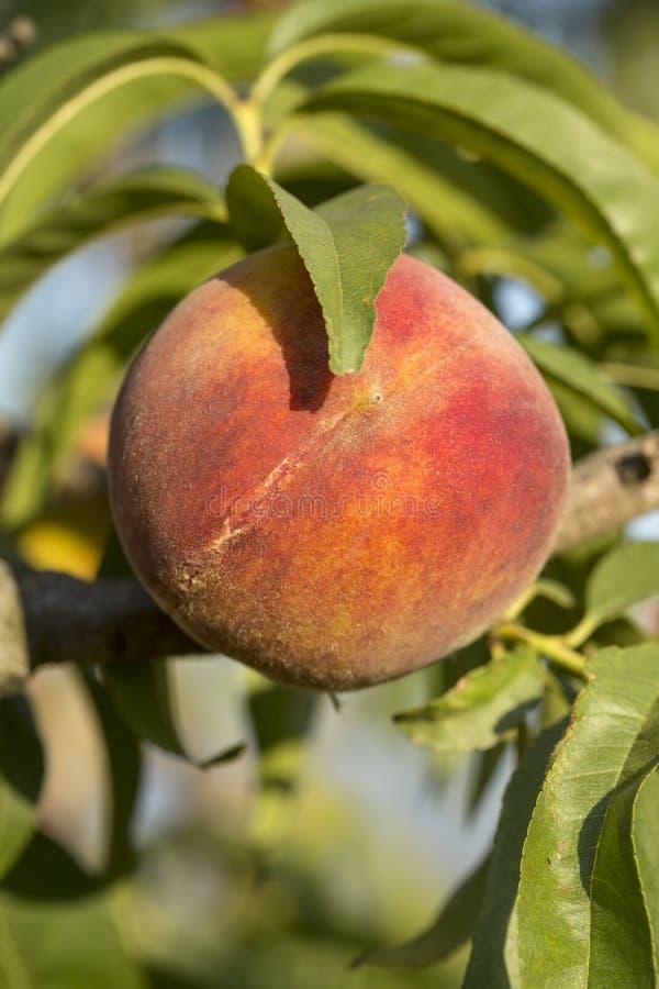 Árbol de melocotón con el crecimiento de frutas en el jardín fotos de archivo libres de regalías