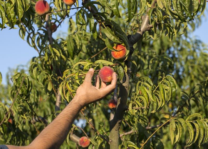 Árbol de melocotón con el crecimiento de frutas en el jardín foto de archivo libre de regalías