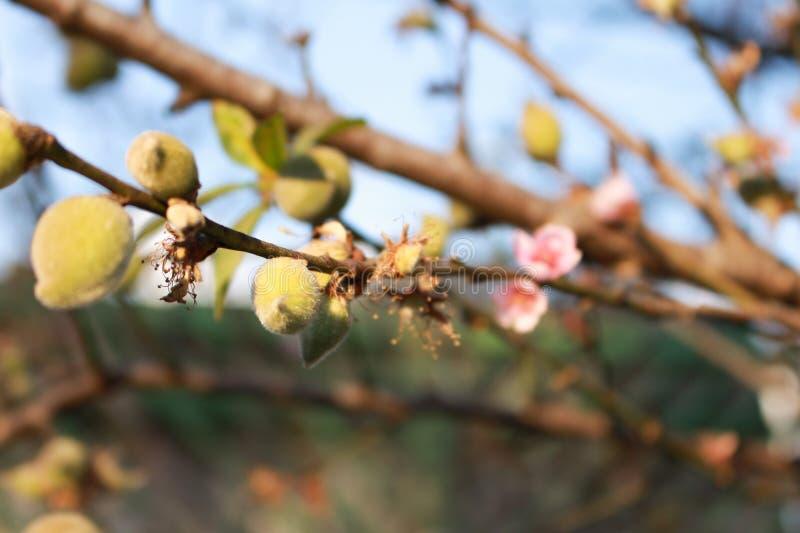 Árbol de melocotón con los pequeños melocotones y flores imagen de archivo
