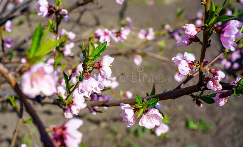Árbol de melocotón del flor con las flores rosadas hermosas y las pequeñas hojas verdes jovenes en el jardín en día de primavera  imagen de archivo