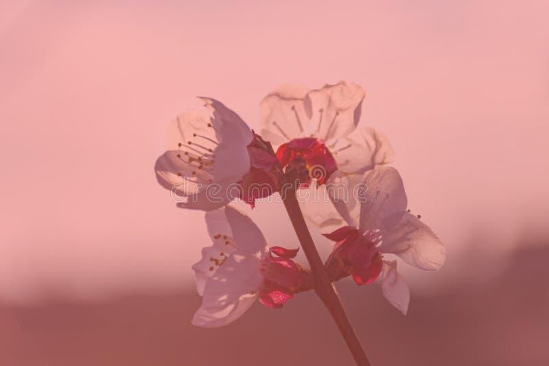 Árbol de melocotón en la floración, con las flores blancas en la puesta del sol Aitona Alpicat Lleida españa Agricultura Primer d foto de archivo