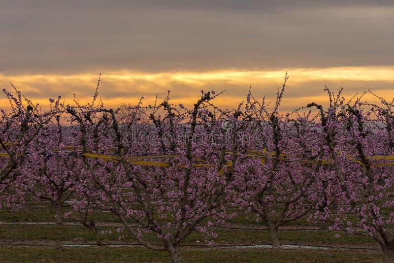Árbol de melocotón en la floración, con las flores rosadas en la salida del sol Aitona Agricultura imágenes de archivo libres de regalías