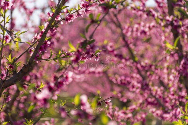 Árbol de melocotón en la floración, con las flores rosadas en la salida del sol Aitona Alcarras Torres de Segre Lleida españa Agr fotos de archivo libres de regalías