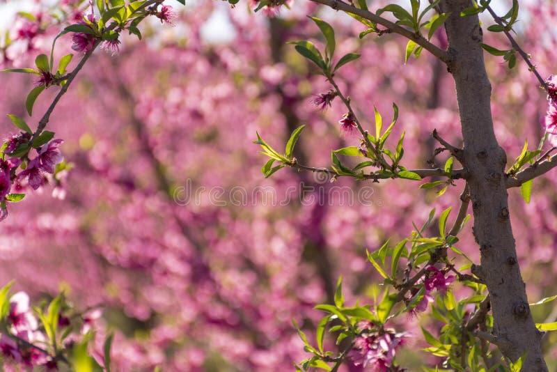 Árbol de melocotón en la floración, con las flores rosadas en la salida del sol Aitona Alcarras Torres de Segre Lleida españa Agr fotografía de archivo libre de regalías