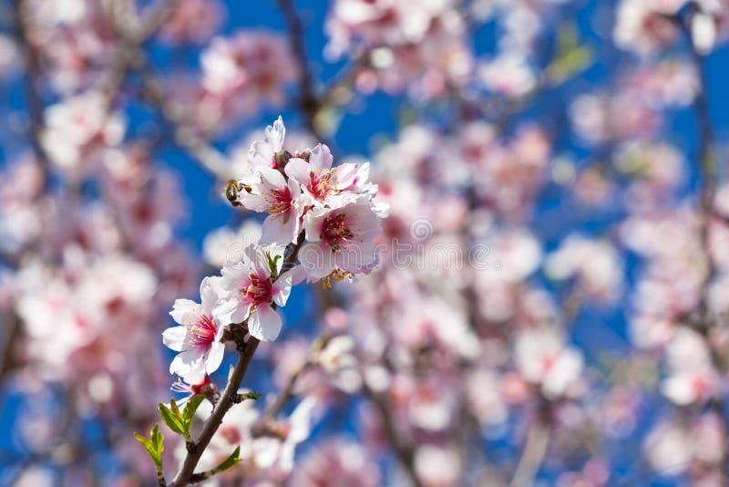 Árbol de melocotón floreciente de las flores rosadas en la primavera imágenes de archivo libres de regalías