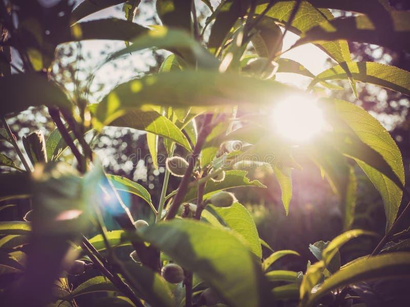 Árbol de melocotón joven con las frutas fotos de archivo