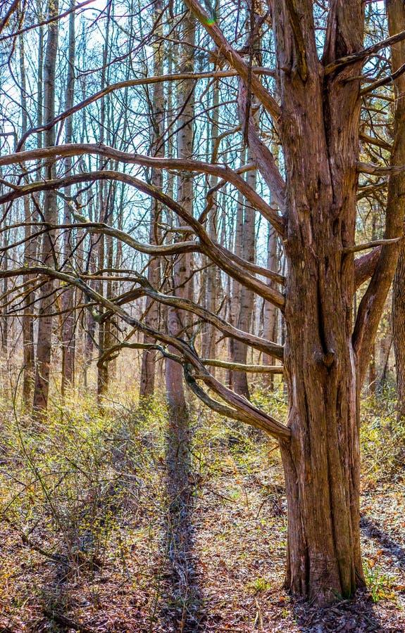 Árbol de mirada salvaje con las ramas de la bobina fotografía de archivo libre de regalías
