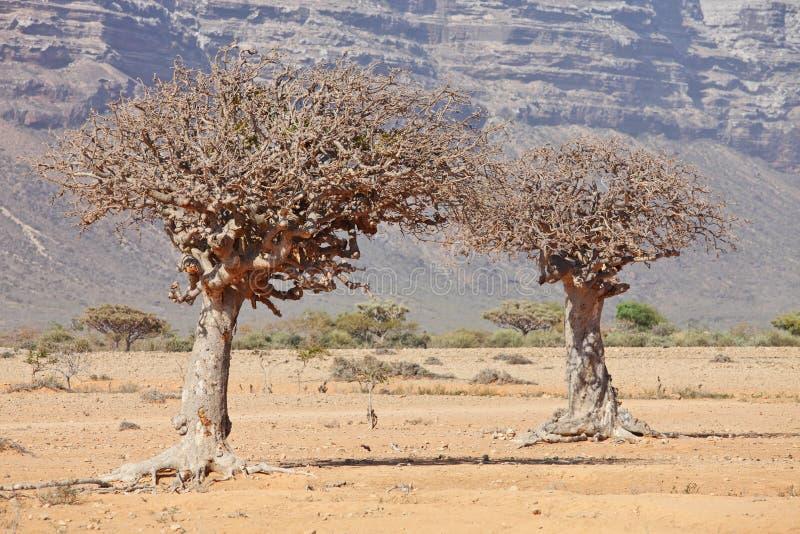 Árbol de mirra imagenes de archivo