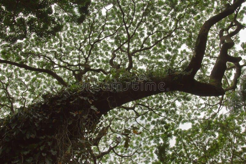Árbol de Monkeypod foto de archivo