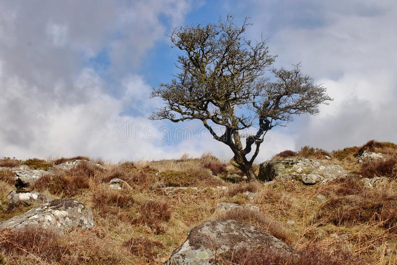 Árbol de muerte de Dartmoor imágenes de archivo libres de regalías