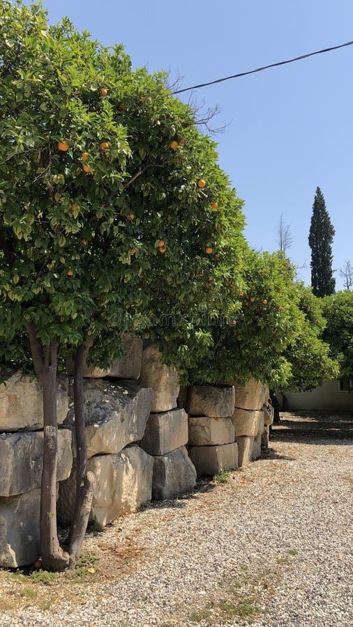 Árbol de naranjas fotografía de archivo