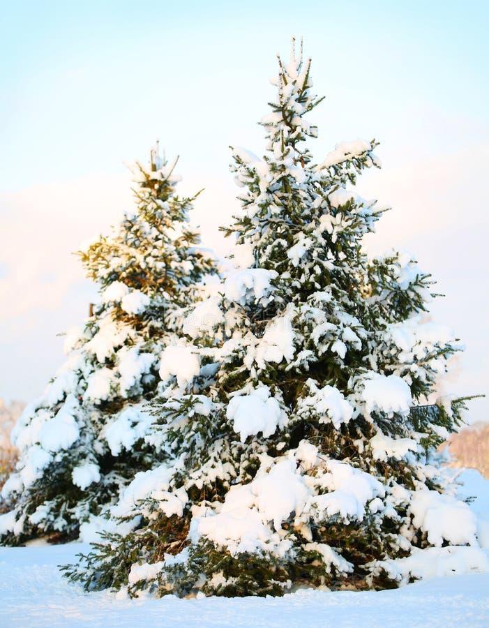 Árbol de navidad cubierto con nieve fresca. Sunny Winter Day. foto de archivo